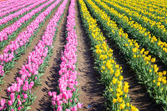 Pink and Yellow Tulip Rows Stock Photos