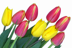 Pink and yellow tulips. Close-up bouquet of bright pink and golden tulips Stock Image