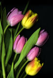 Pink and yellow Tulips on black background. These flowers are Photographed to produce the most dramatic effect Royalty Free Stock Photo
