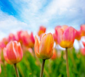 Pink and yellow tulips Stock Photography