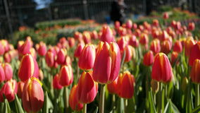 Pink & Yellow tulips Royalty Free Stock Photos