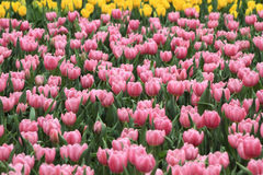 Pink and yellow tulips Stock Images