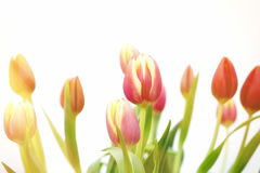 Pink and yellow Tulips Sunset Stock Images