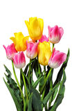 Pink and yellow tulips on white Stock Photography