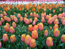 Pink and Yellow Two-Tone Tulips with Plenty of Colorful Tulips Blooming in the Gardens Stock Image