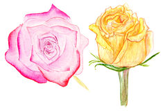 Pink and yellow watercolor roses. Illustration of pink and yellow roses on white background Royalty Free Stock Images