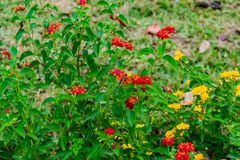 Beautiful colourful blooming Lantana camara on a garden with butterfly flying on flower with greenery leaves in rainy season. stock photo