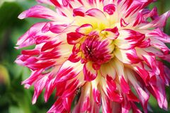 Pink Yellow White Flower Royalty Free Stock Images