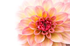 Flower background. Pink, yellow and white fresh dahlia flower macro photo isolated against white background. royalty free stock image