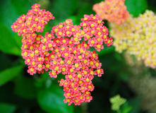 Pink yellow Yarrow Achillea flower Stock Photo