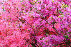 Pink zalea background Royalty Free Stock Photo