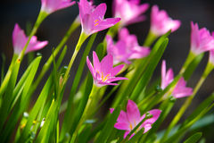 Pink Zephyranthes, Fairy Lily flower  background.  Stock Photo