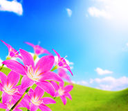 Pink zephyranthes flower and blue sky and sunshine Royalty Free Stock Image