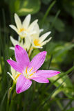 Pink zephyranthes flowers,rain lily close up Stock Images