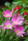 Pink zephyranthes flowers. Rain Lily Royalty Free Stock Image