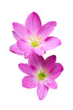 Pink zephyranthes flowers. Rain Lily Royalty Free Stock Photography