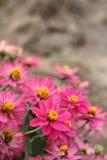 Pink zinia Stock Image