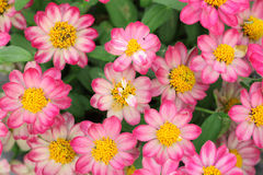 Pink zinia Stock Photo