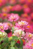 Pink zinia Royalty Free Stock Images