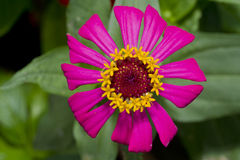 Pink Zinnia Royalty Free Stock Images