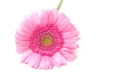 Pink zinnia. Isolated over a white background Royalty Free Stock Photos