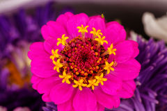 Pink Zinnia Astereaceae Blooming Flower Background Royalty Free Stock Images