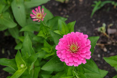 Pink Zinnia. Beautiful closeup Pink Zinnia flower Royalty Free Stock Photo