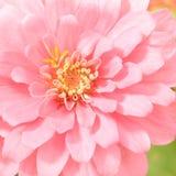Pink Zinnia Blooming Stock Photo