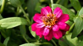 Pink Zinnia Blooming Stock Photos