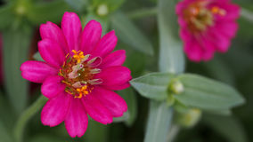 Pink Zinnia Blooming Stock Photography