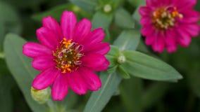 Pink Zinnia Blooming Royalty Free Stock Photos