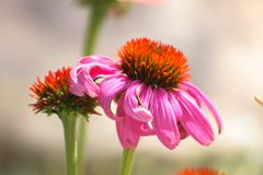 Pink Zinnia. Blooming in the garden Stock Image