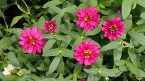 Pink Zinnia Blooming Royalty Free Stock Photo