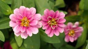 Pink Zinnia Blooming Stock Images