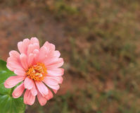 Pink Zinnia bottom L Stock Photography