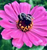 Pink Zinnia with Bumble bee stock photos