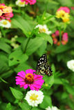 Pink zinnia with butterfly Royalty Free Stock Photo