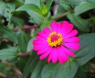 Pink zinnia Stock Images