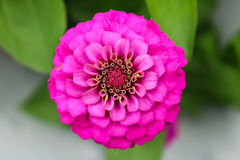Pink zinnia close up blooming in field plant. Stock Photography