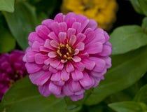 Pink Zinnia. Closeup of a pink zinnia bloom Stock Photos