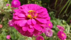 Pink Zinnia. Zinnia is colorful and beautiful flower in garden stock photography