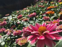 Pink Zinnia Daisy royalty free stock photography