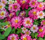 Pink Zinnia elegans Stock Images