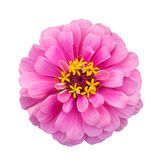 Pink zinnia elegans isolated Stock Photos