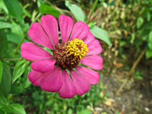 Pink zinnia flower Stock Image