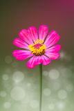 Pink Zinnia Flower. Background Of Pink Zinnia Flower Stock Photography