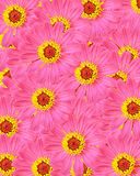 Pink zinnia flower, background of the flowers Royalty Free Stock Images