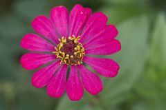 Pink zinnia flower blooming royalty free stock image