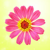 Pink zinnia flower Royalty Free Stock Photography