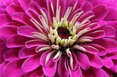 Pink zinnia Royalty Free Stock Image